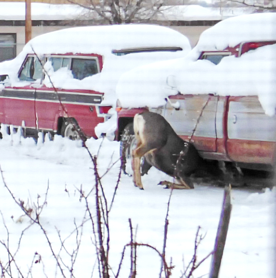 Joseph Gallegos, of Craig, took this photo of a deer trying eat bird food that was under a truck.