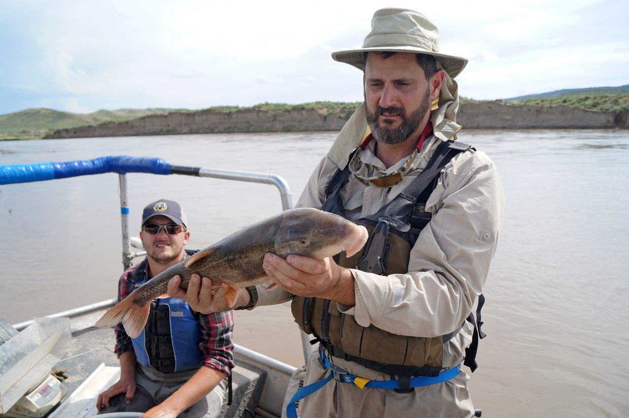 Colorado Parks and Wildlife Aquatic Biologist Cory Noble displays a massive white sucker caught in the Yampa River.