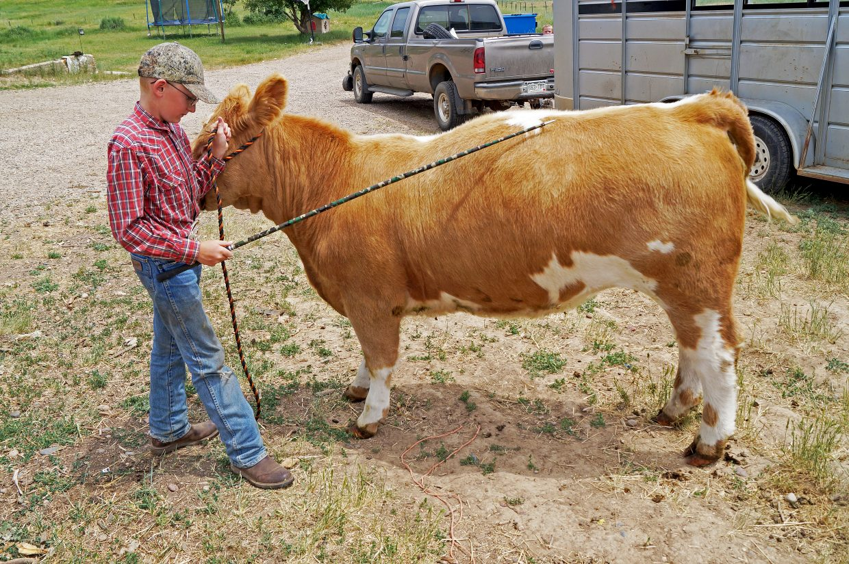 Jentry Bacon, 12, keeps his heifer calm with a scratch.