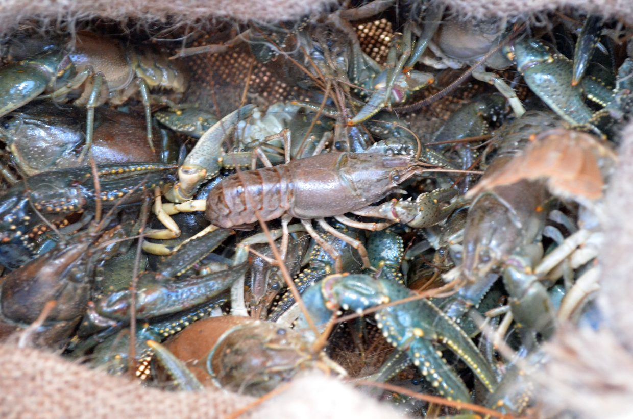 A sack of crawdads are ready for boiling during the Northwest Colorado Chapter of Parrotheads Luau at the Lake Saturday at Elkhead Reservoir.