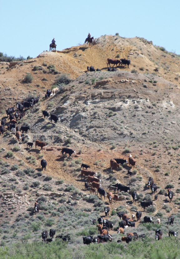 Cowboys drive cattle on Vermillion Ranch in Browns Park on June 7 for branding.