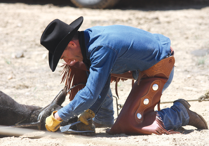 Kevin Villard, a friend of the Dickinson family, tags a calf's ear June 7 during the annual cattle branding at Vermillion Ranch.