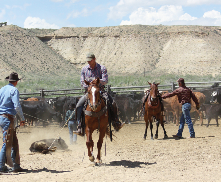 Eric Pingley, of West Virginia, on horse, pulls a calf on a rope June 7 during branding at Vermillion Ranch in Browns Park.
