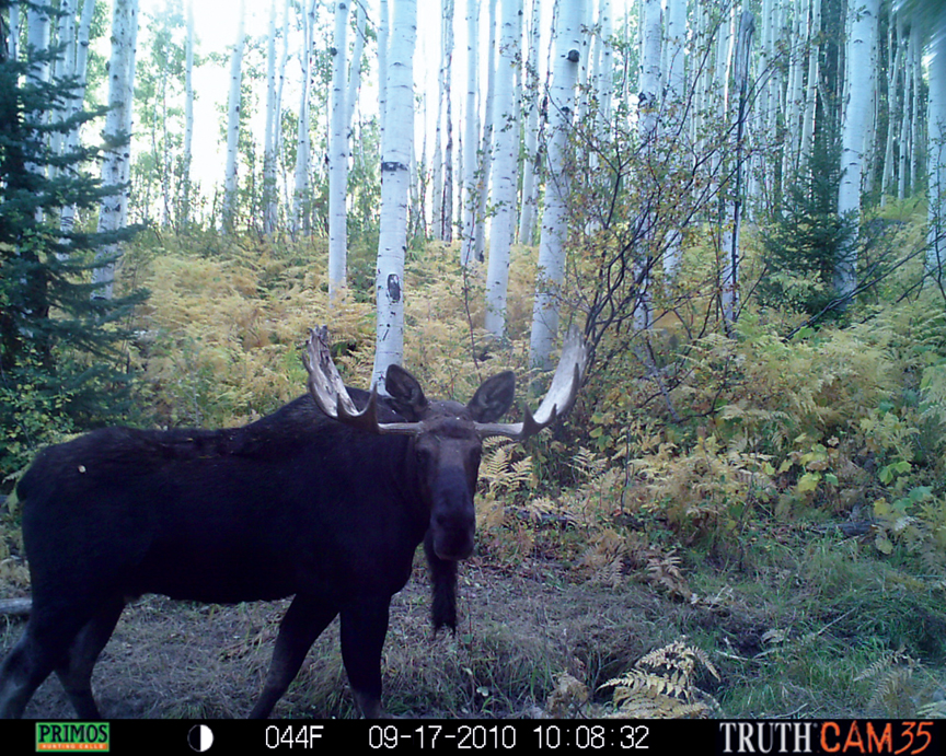 """""""All of these shots were taken near Buffalo Pass at a heavily used water hole,"""" says local hunter Bill Van Ness. """"The bull moose was the boss of the woods and actually came by me at 10 years, tearing up every tree in his path. He had a pretty severe attitude. The elk was in front of my trail cameras daily. He was fun to monitor. One morning he passed through a camera, then four hours later he passed through another one two miles away. The bear is one of nine different bears I was able to catch on camera in the area. You couldn't set foot in the woods without coming across a bear up there."""""""