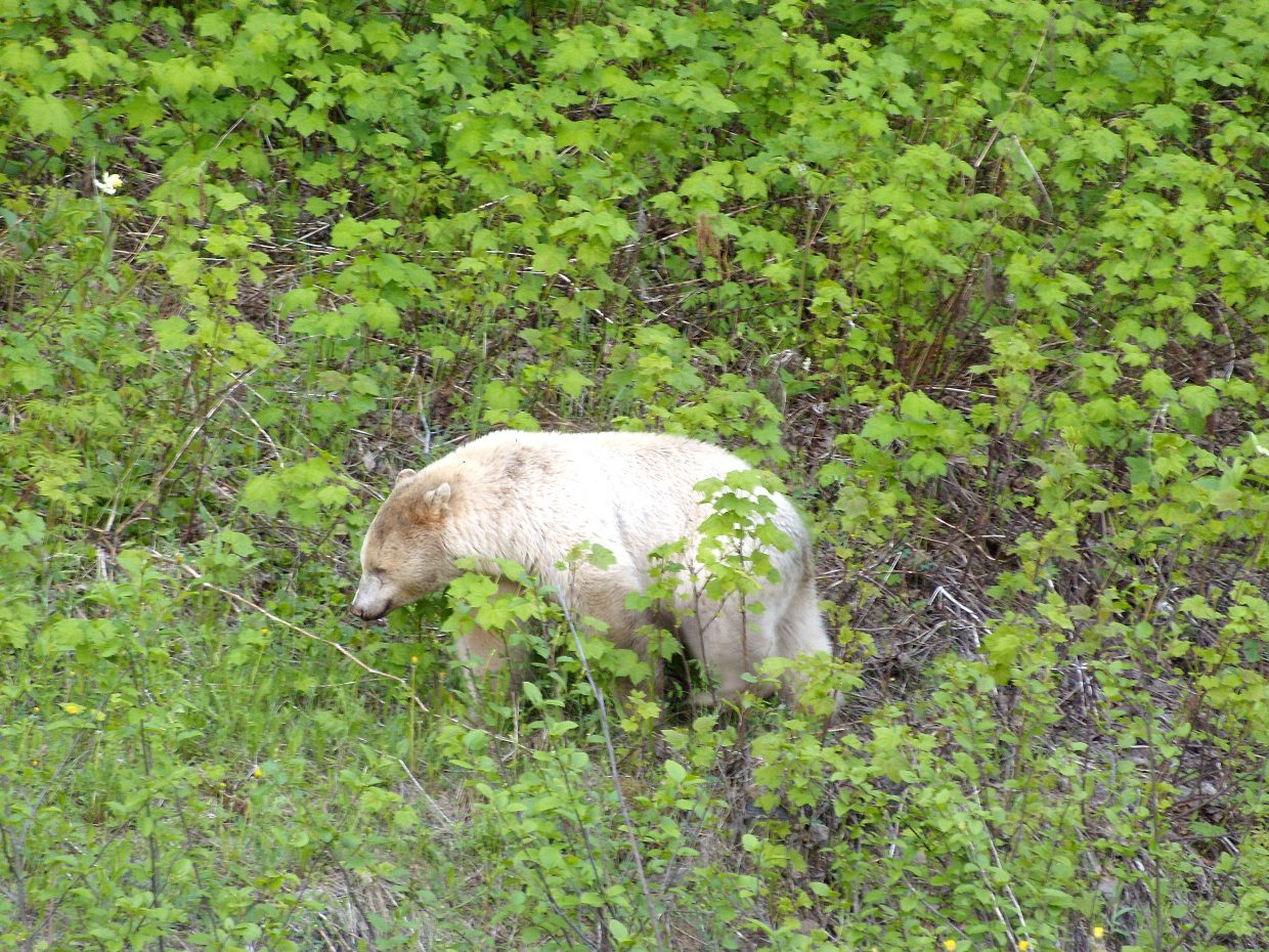 Jeff Whilden, of Craig, snapped this photo of a Kermode Bear (albino black bear) outside of Kitimat, British Columbia.