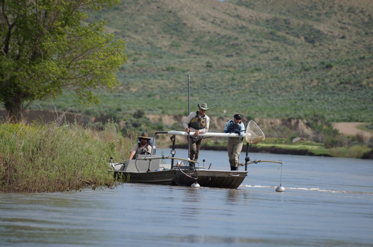 Shock fishing on the Yampa River is a key part of protecting endangered native fish.