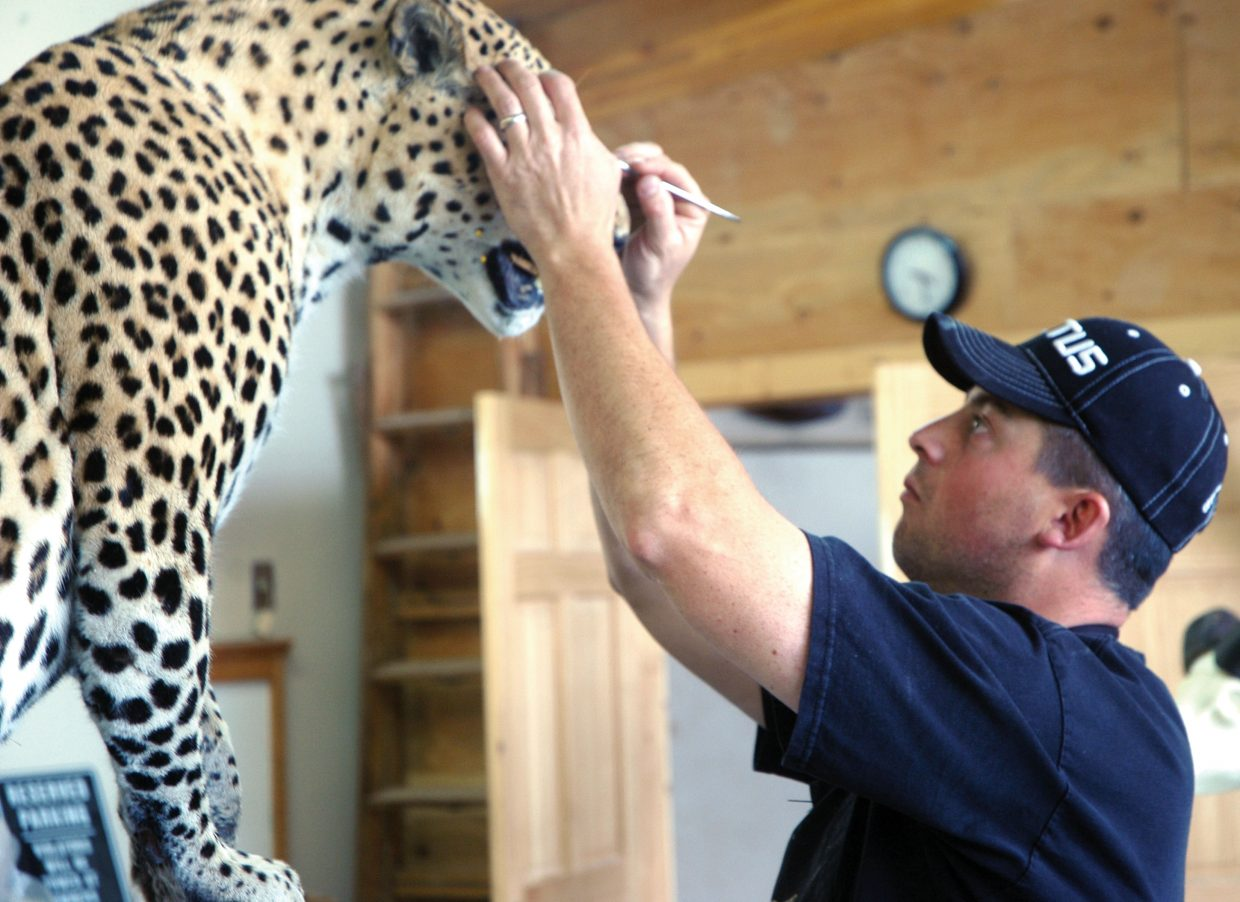"""Leland Reinier, owner of Big Cat Taxidermy, works on a customer's leopard in May 2010. Reinier worked with taxidermist Scott Moore to create the piece, """"Can't Kill the King,"""" which won first place for collective artist at the Colorado State Taxidermy Competition earlier in June in Salida."""
