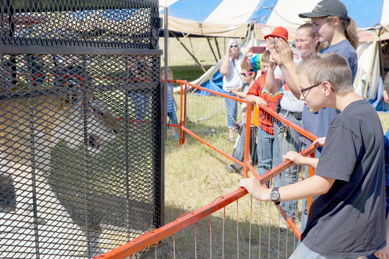 Meeting the tigers is one of the highlights of the free tent raising tour. The tiger Delilah, pictured, and her brother were rescued , along with Francis the lion, by circus owner Trey Key.