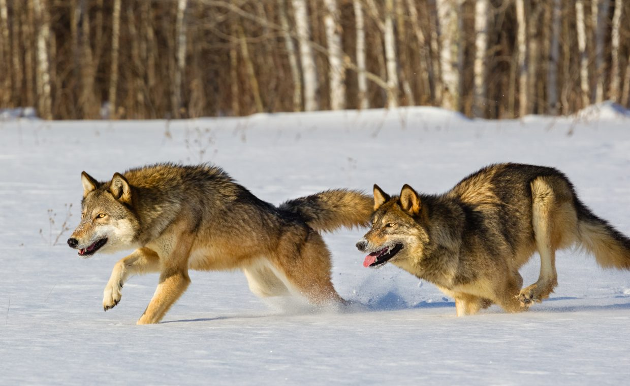 the reintroduction of wolves Wolves have been extinct in some local areas in the united states, a condition also known as extirpation these are the red and gray wolves, in particular.