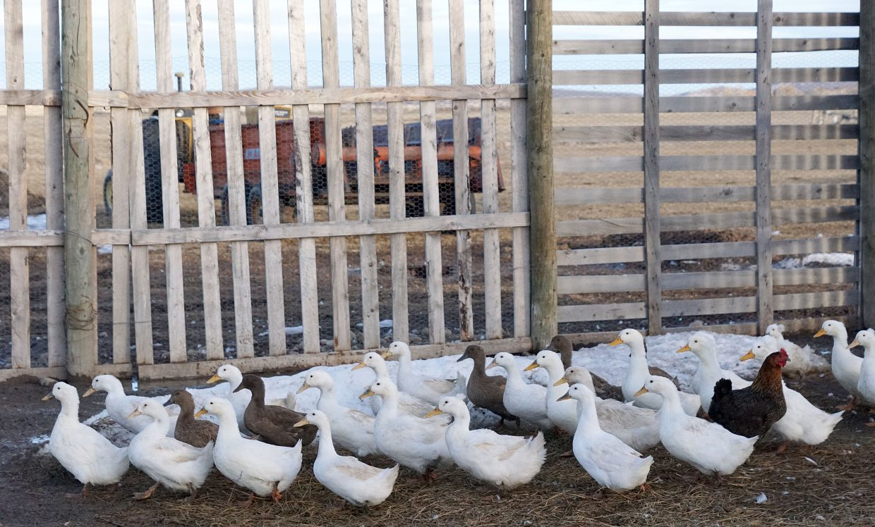 A flock of Pekin and Kaki ducks are raised on the Brannan ranch.