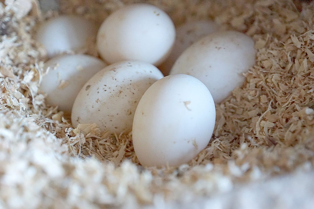 Duck eggs that are much larger than chicken eggs are used in baking sweet treats.
