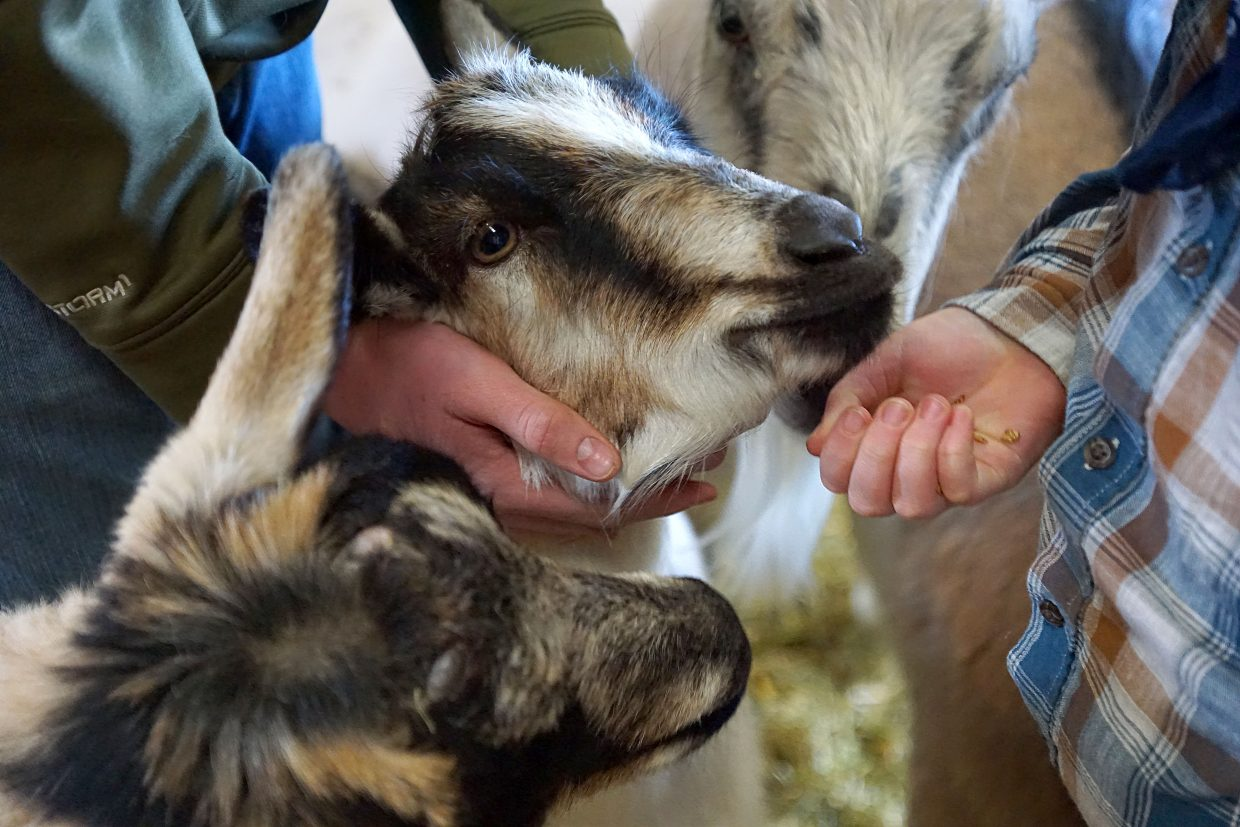 Winters' Blessings Soap Co. starts with small herd of pampered Alpine Goats — seven nanny goats and one billy goat — kids are born each spring with a portion of the milk produced by each goat harvested for soap making.