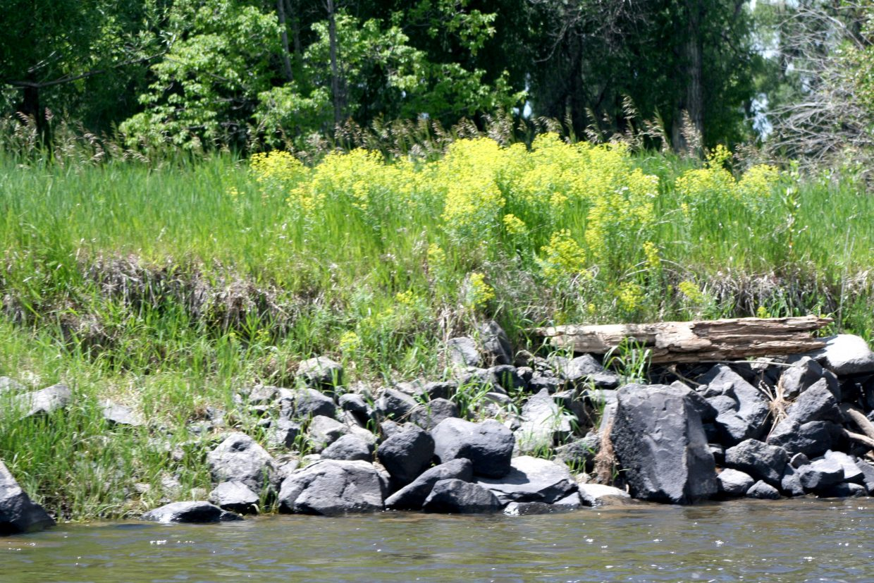 Leafy spurge in false-flower along the banks of the Yampa River.