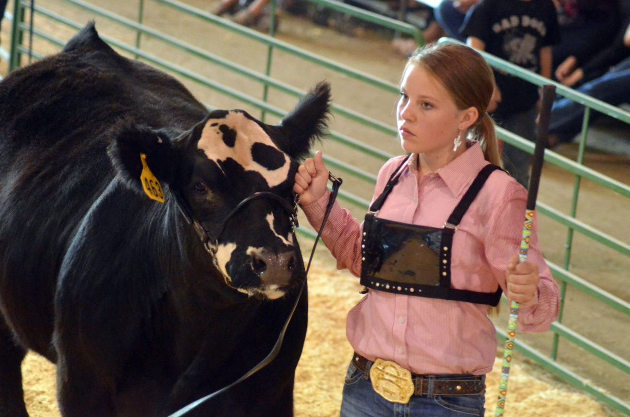 Aftyn Kawcak keeps hold of the bridle for his steer during the Moffat County Fair beef show Thursday.