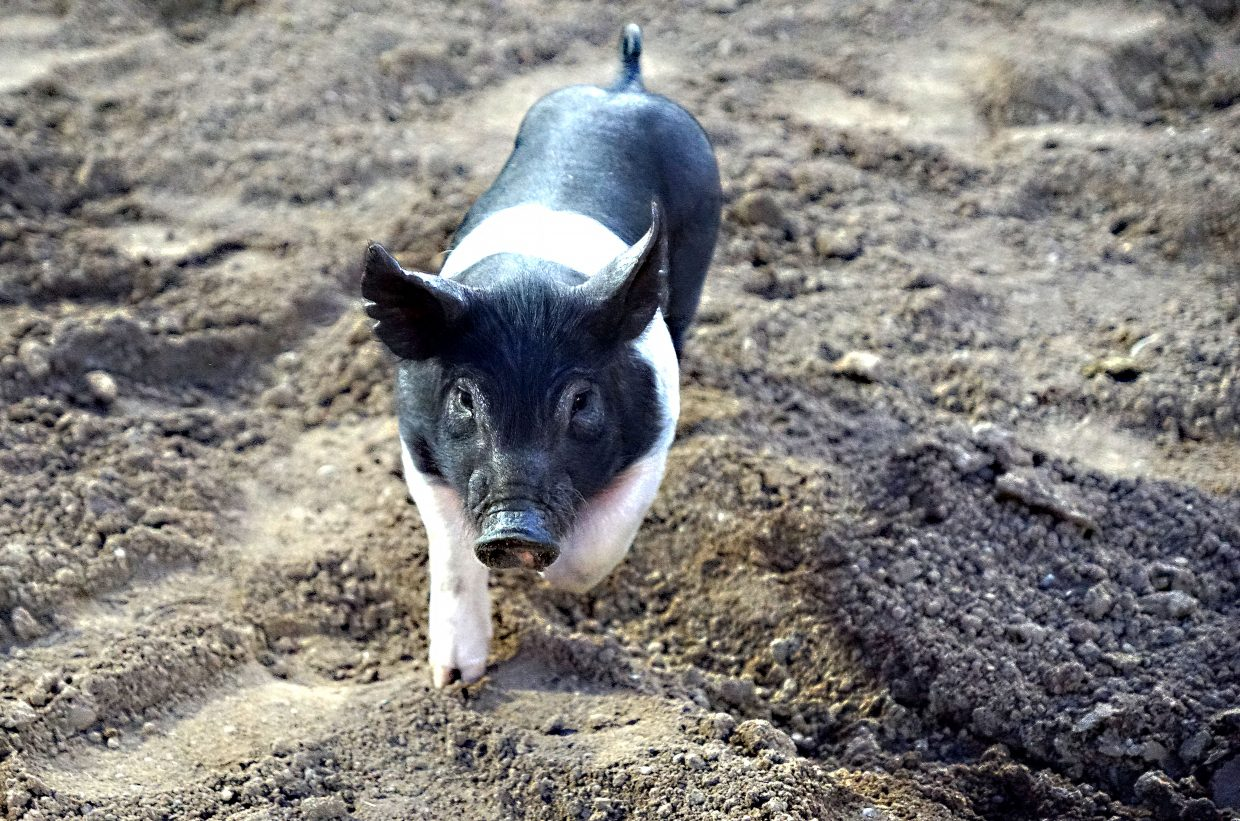 A weaner pig trots into the rodeo arena