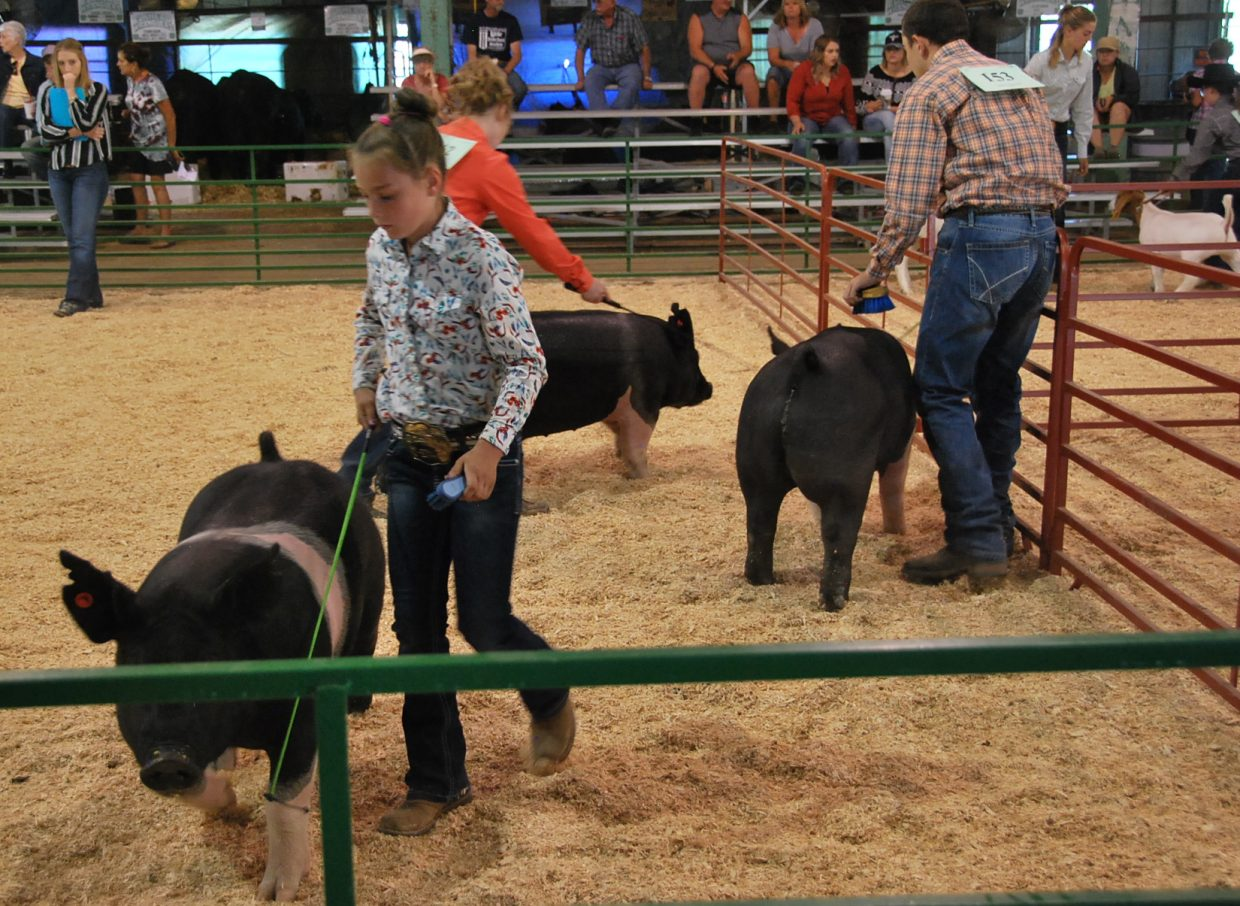 Kids handle pigs as part of the large animal round robin Saturday at the Moffat County Fair.