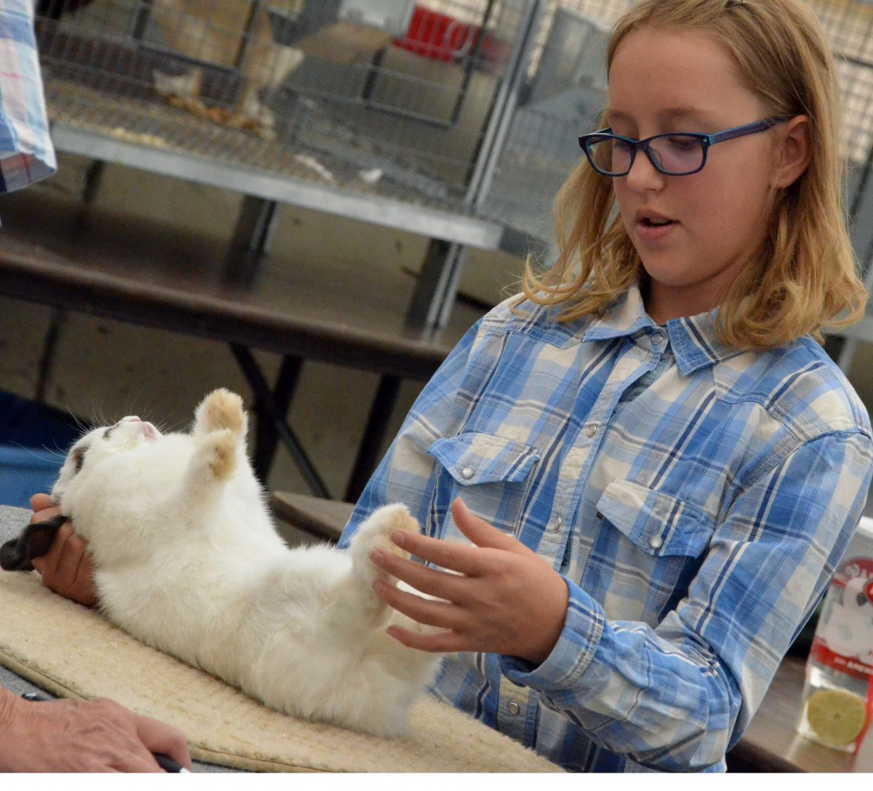 Brenna Boatman gently places her bunny on its back for judging for the rabbit show Friday at the Moffat County Fair.