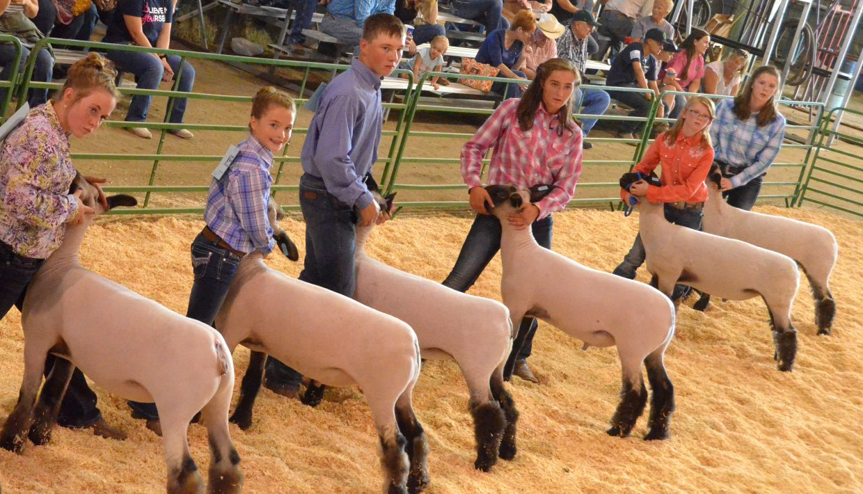 Competitors line up with their animals as winners are announced during the market class division of the Wednesday sheep show at the Moffat County Fair.