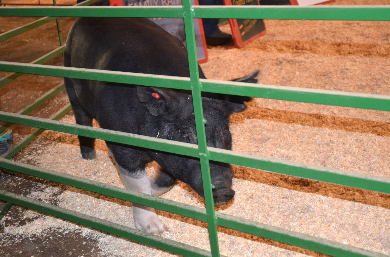 A pig checks out the edges of the arena during a break in the action at the Moffat County Fair's Swine Show on Friday.