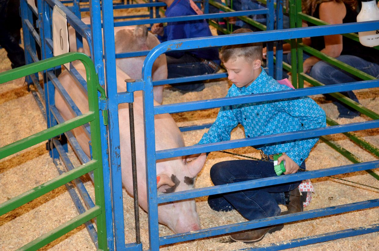 Tate Green grooms his pig while waiting his turn to compete in the intermediate showmanship division in the Moffat County Fair swine show on Friday.