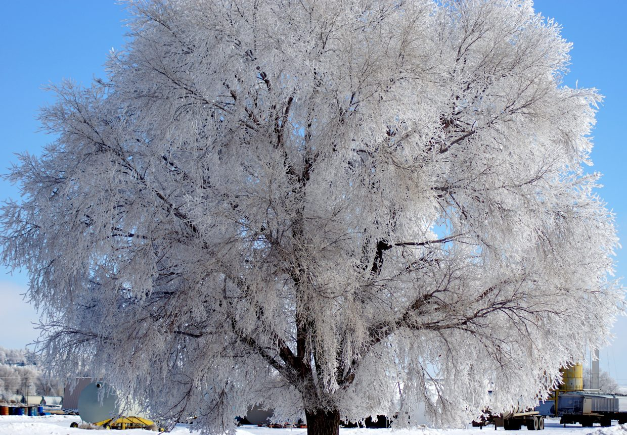 A tree near First Street in Craig is cloaked in frost.
