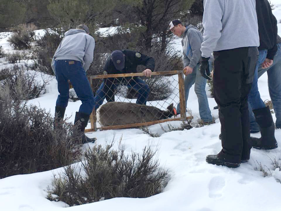 A sedated mule deer doe is redied for a stretcher.