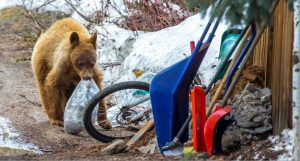 1st bear killed by wildlife officers in Colorado after relocation from Steamboat to Meeker