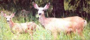 CPW euthanizes mother doe, spares fawns after deer attack in Craig