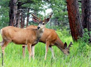 Mule deer apprehended by CPW after injuring elderly woman in Craig