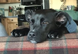 Koda comes home: How a lost Western Slope pup found its way back to its owners