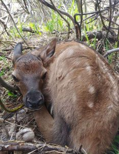Starting in Moffat County, collared cow elk migrates over 250 miles to give birth